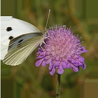 pieris-brassicae-00013-2